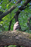 Red Tailed Hawk in an American Elm Tree - Central Park Mall