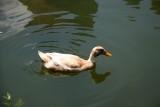 Duck - Duck Pond Area
