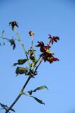 Don Juan Rose Foliage