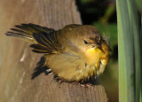 Female Common Yellowthroat Warbler - Geothlypis trichas