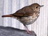 Hermit Thrush - Catharus guttatus