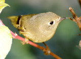 Ruby Crowned Kinglet - Regulus calendula