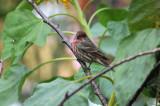 House Finch - Carodacus mexicanus