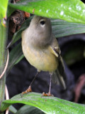 Ruby Crowned Kinglet on a Lily Leaf