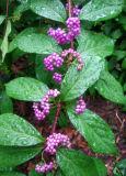 Beauty Berry Bush