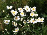White Japanese Anemones