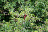 Cardinal in a Honey Locust Tree