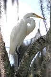 Great White Egret on Rainbow River