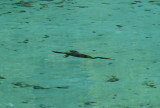 Cormorant Under Water - Rainbow Springs State Park