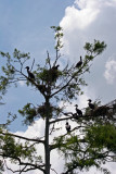 Cormorant Rookery - Rainbow River Boat Ride