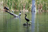 Cormorants - Rainbow River Boat Ride