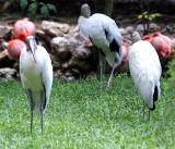 Wood Storks - Wildlife State Park