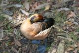 Wood Duck - Wildlife State Park