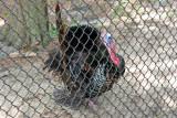 Wild Turkey - Wildlife State Park
