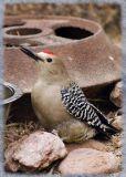 Gila Woodpecker, Male