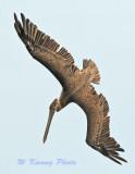 Brown Palican