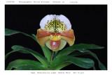 20085904 - Paph Resurrection Light. 'Easter Morn'  HCC/AOS  76 pts.