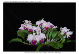 20085908 - C. triainae semi-alba flammea  'Kathleen'  CEE/AOS  90 pts.