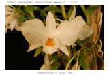 20082711 - Den. wattii   'Silas'  CHM/AOS 82 pts. Close-up