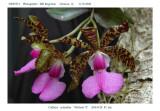 20085921 - Cattleya aclandiae  'Michael  II'  AM/AOS  85 pts.