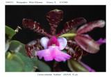 20085912 - C. aclandiae  'Kathleen'  AM/AOS  82 pts.