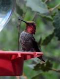 Hummingbirds SV