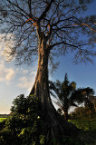 Standing Fast - One of the few large trees they haven't cut down in Yapacani, Bolivia