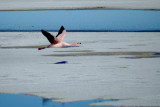 Flamingo on the Salar de Uyuni