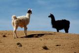 Llamas in Potosi