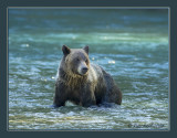 grizzly fishing.jpg