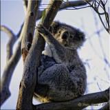 Koala Mommy & Baby.jpg
