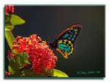Cairns-Birdwing.jpg