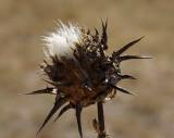 Wild Artichoke