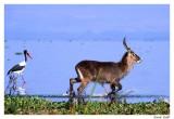 waterbuck & jabiru.