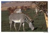 zebre grevy