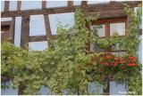 Vigne vierge et geraniums