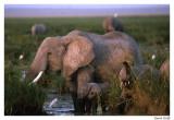 Elephant Amboselli.