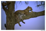léopard arbre