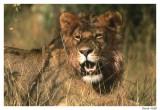 Lion jeune mâle