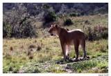 Lionne belle