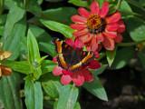 Zinnea & tortoiseshell butterfly.....