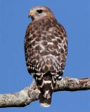 Red Shoulder Hawk on branch vertical.jpg