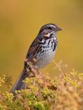 Savannah Sparrow ?
