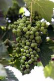 Montalcino grapes.jpg