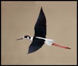 Black-winged Stilt