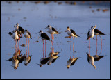 A flock of Black-winged Stilts in early morning light
