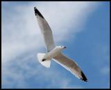Audouin`s Gull