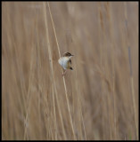Citting Cisticola - abundant in all reed