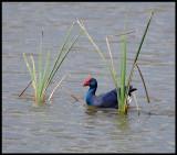 Purple Swamp-hen