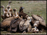 Griffons and two Black Vultures feeding on a sheep
